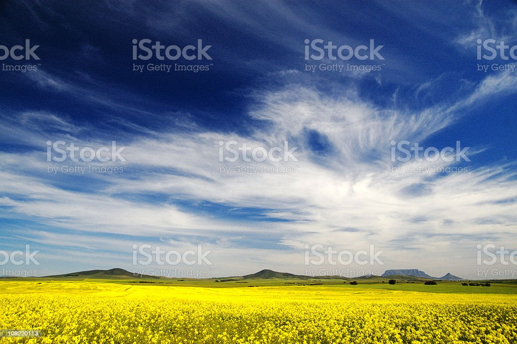 Canola Field Against Blue Sky with Clouds royalty-free stock photo