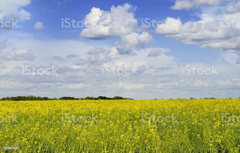 Canola field and clouds royalty-free stock photo