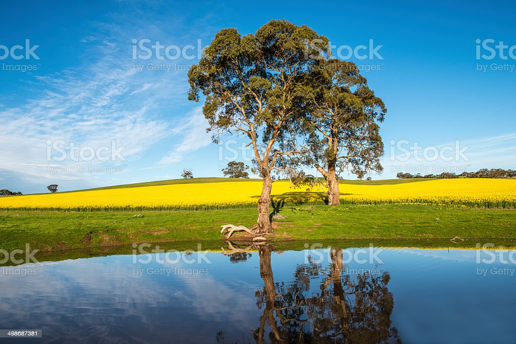Canola field and trees reflected in dam, Australia​​​ foto