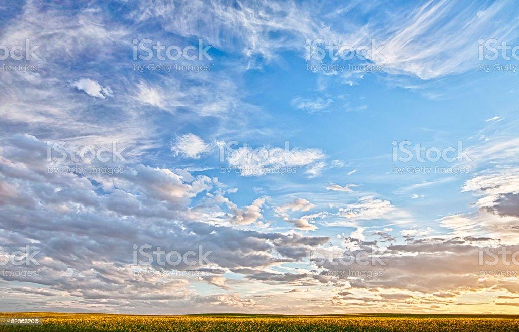 Canola Field at Dusk stock photo