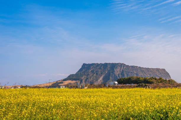 Campo de canola en Seongsan Ilchulbong, isla de Jeju, Corea del sur - foto de stock
