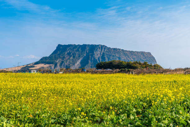 canola field at seongsan ilchulbong, jeju island, south korea - jeju island stock photos and pictures