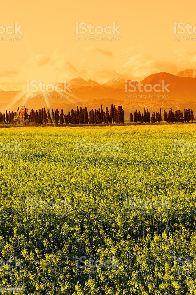 Canola Field at Sunset in Tuscany royalty-free stock photo