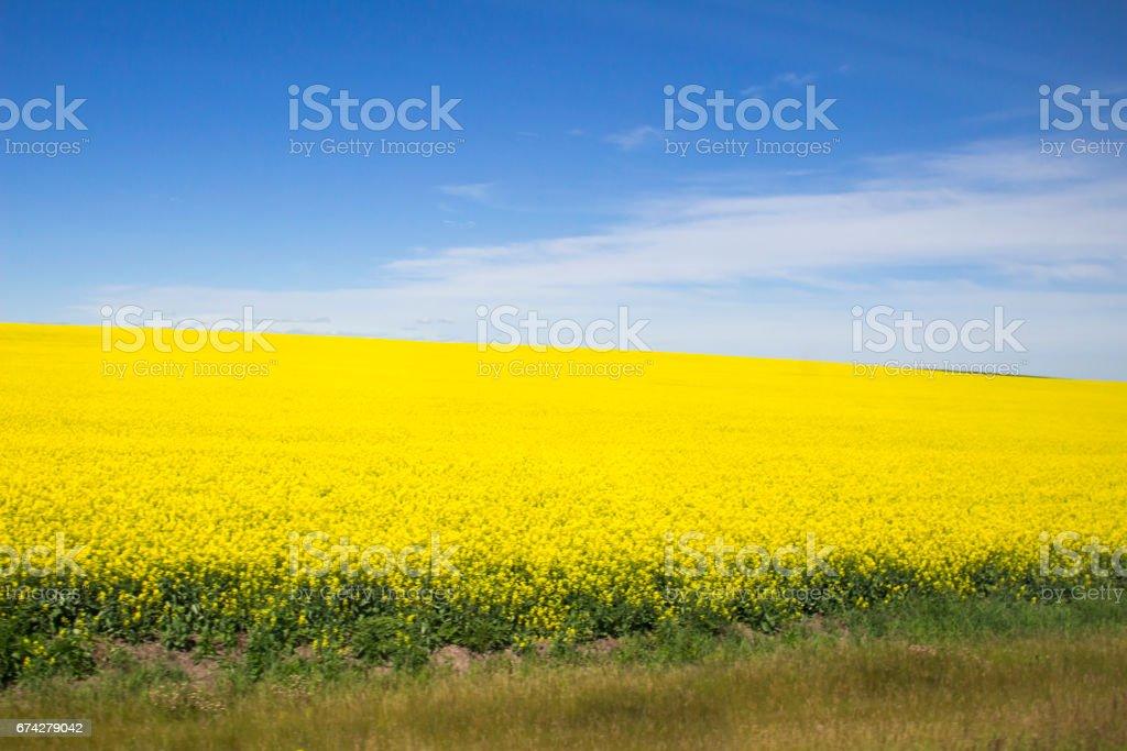 Canola Field Hill stock photo