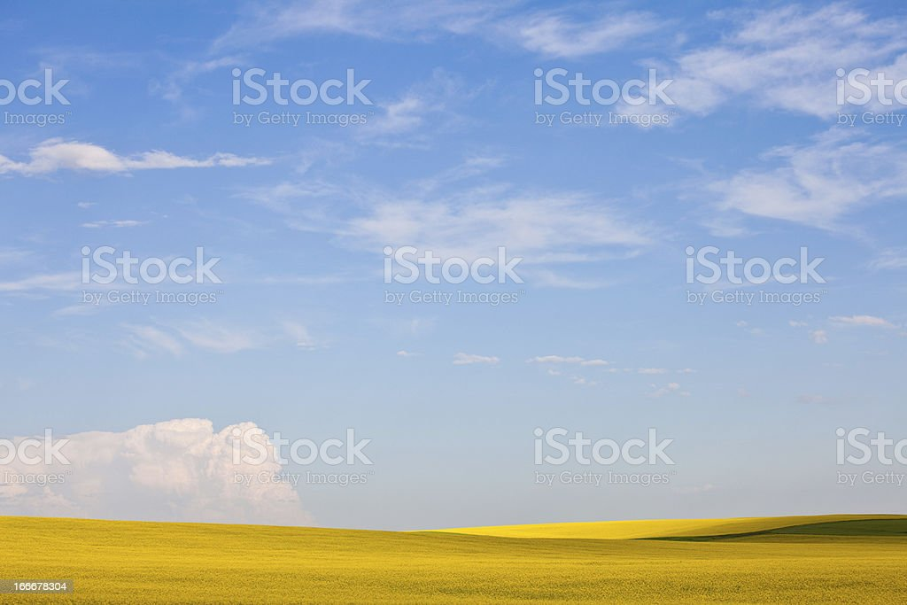 Canola Field in Alberta stock photo