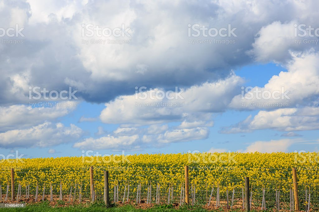 Canola Field in Bloom Landscape royalty-free stock photo