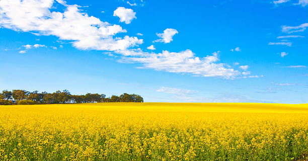 Canola field in panorama view, Perth, Australia stock photo