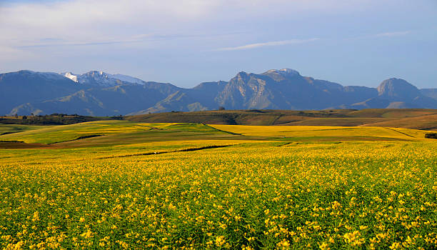 Canola field in the South Africa stock photo