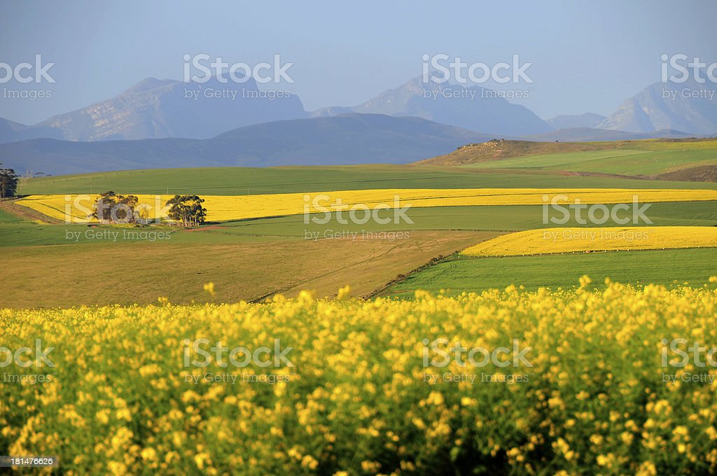 Canola field in the South Africa royalty-free stock photo