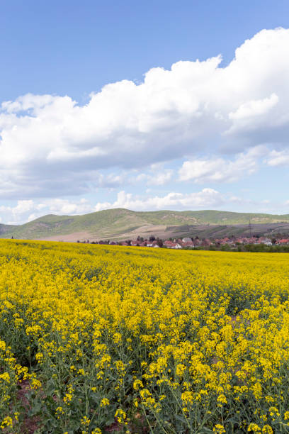 Canola field in the Zemplen stock photo