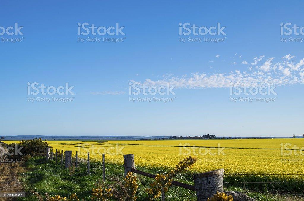 Canola field near Ballarat stock photo