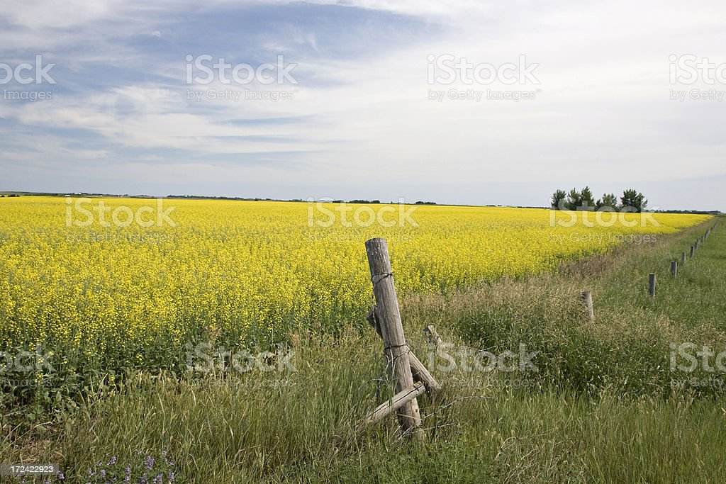 Canola Field on Prairies royalty-free stock photo