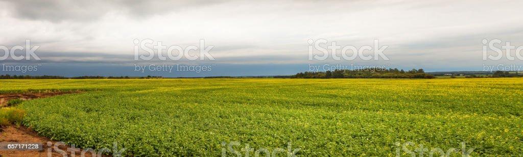 Canola field Panorama stock photo