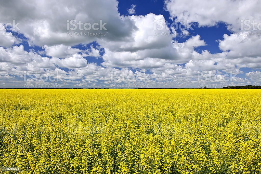 Canola field royalty-free stock photo