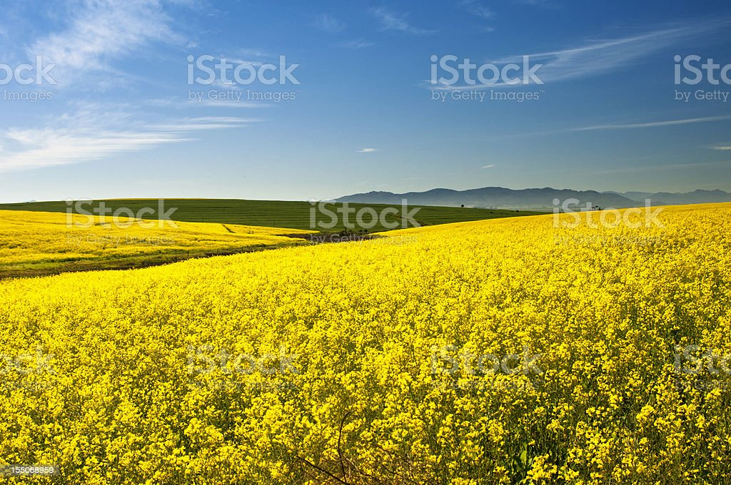 Canola(Rape) field stock photo