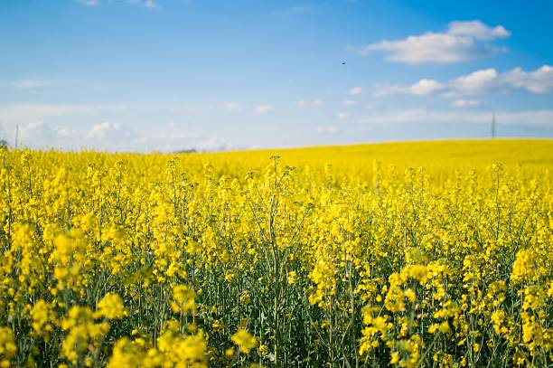 Canola field Yellow canola rapeseed field with bright sky canola stock pictures, royalty-free photos & images