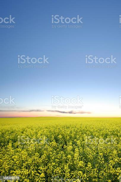 XXXL canola field twilight