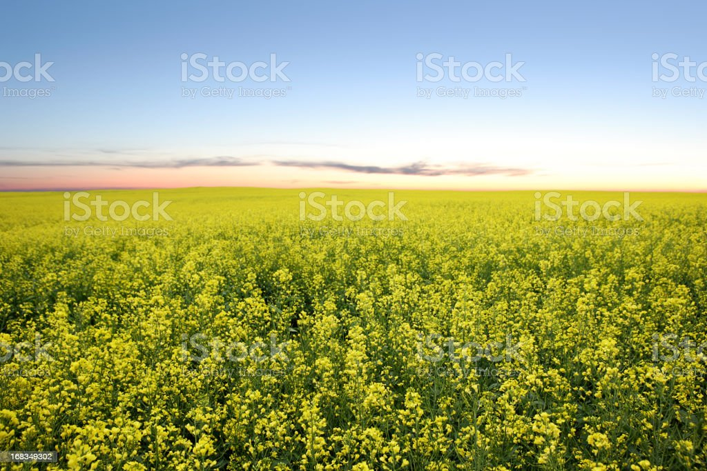 XXL canola field twilight stock photo