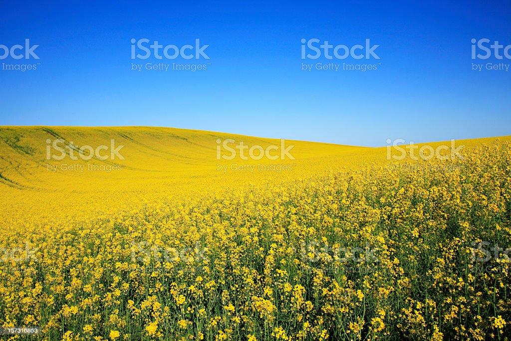 Canola Field under Blue Sky stock photo
