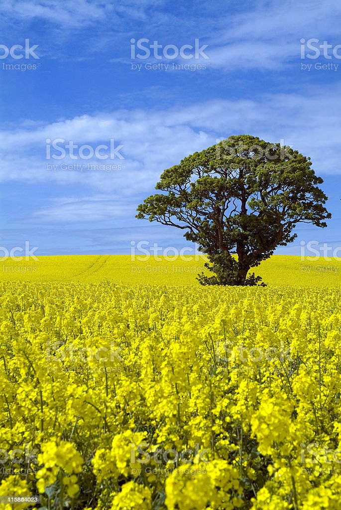 Canola field with tree on sunny day royalty-free stock photo