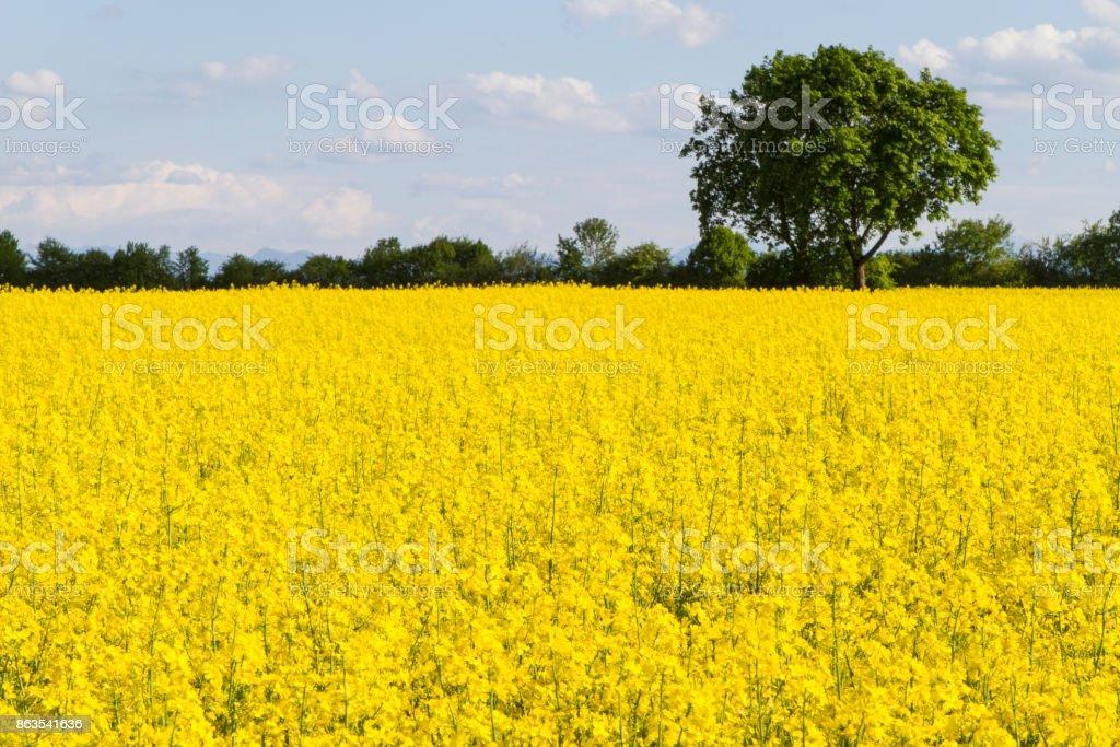 Canola field with tree stock photo