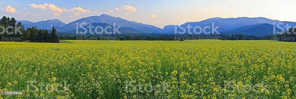 Canola Fields Adirondacks Panorama stock photo