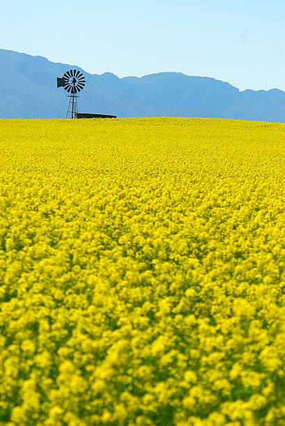 Canola Fields in the Overberg South Africa stock photo