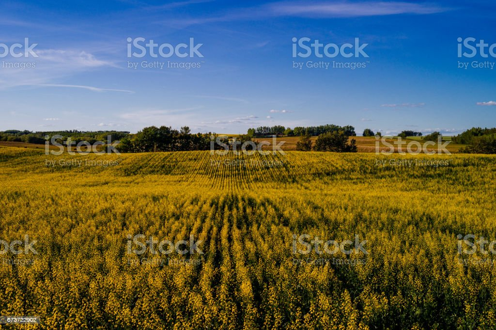 Canola Fields of Alberta, Canada in Fall stock photo