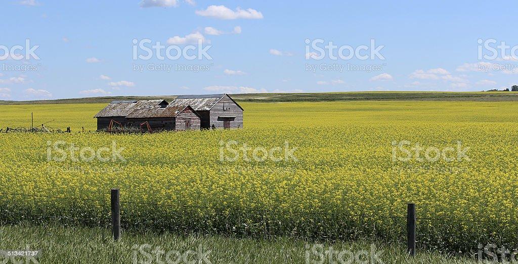Canola fields stock photo