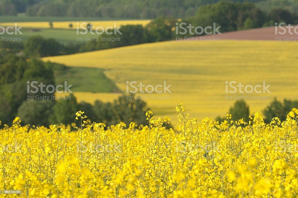 Canola Fields royalty-free stock photo