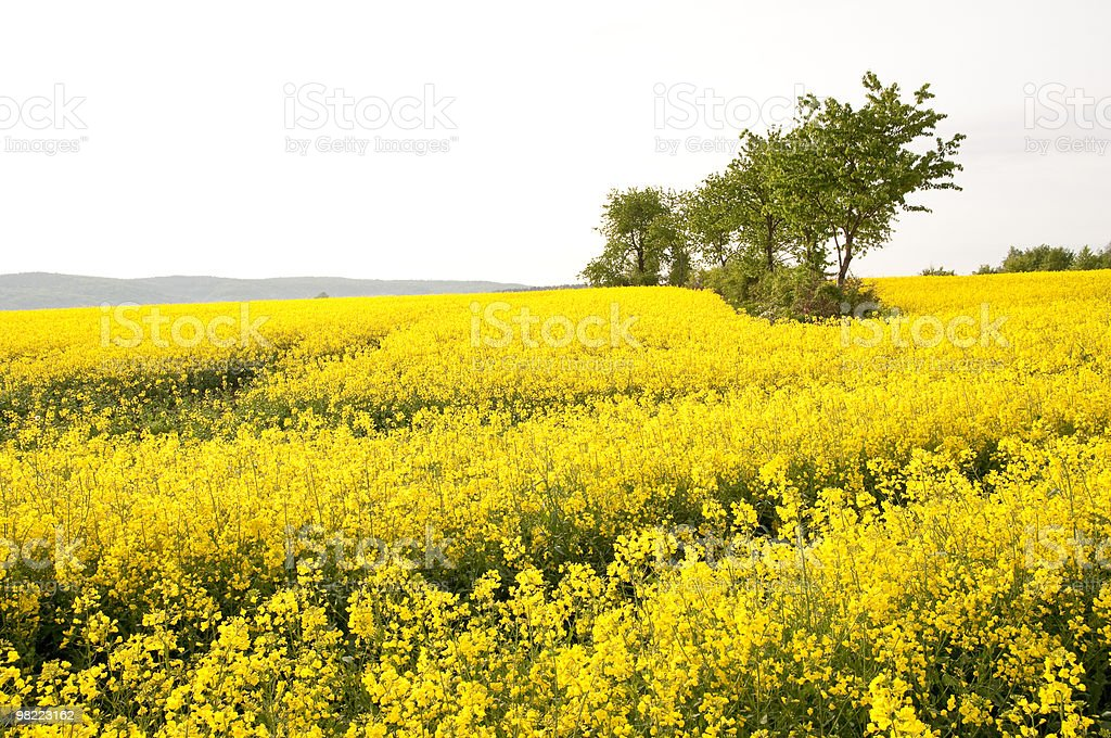 Canola Fields royalty-free stock photo
