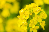 Canola Flower Close Up