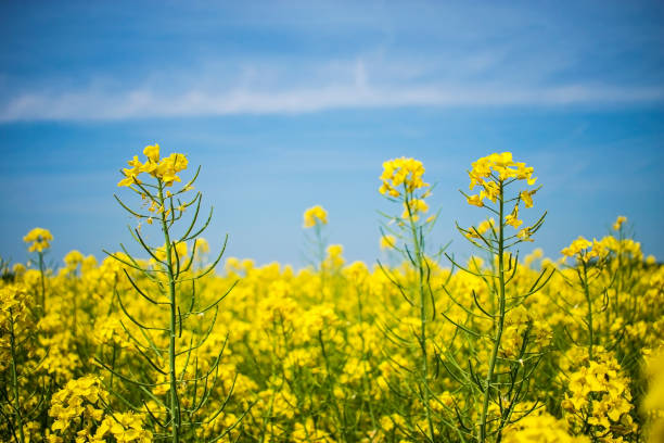 Canola flower field closeup. Beautiful growing yellow plant Canola flower field closeup. Beautiful growing yellow plant on foreground, bio fuel concept canola stock pictures, royalty-free photos & images
