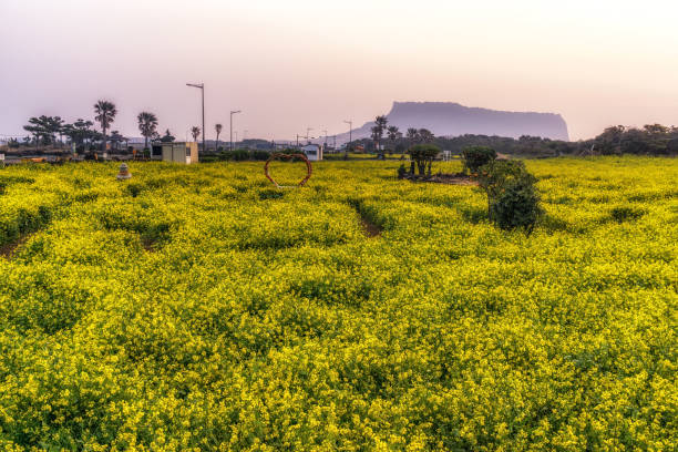 Canola flower in Seongsan Canola flower field taken during sunrise time looking over Seongsan Ilchulbong in Jeju Island, South KoreaCanola flower field taken during sunrise time looking over Seongsan Ilchulbong in Jeju Island, South Korea seogwipo stock pictures, royalty-free photos & images