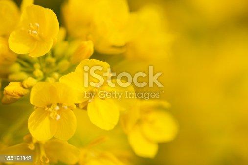 extreme close up of canola flower