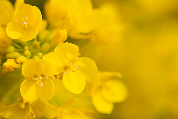Canola Flower extreme close up of canola flower  canola stock pictures, royalty-free photos & images
