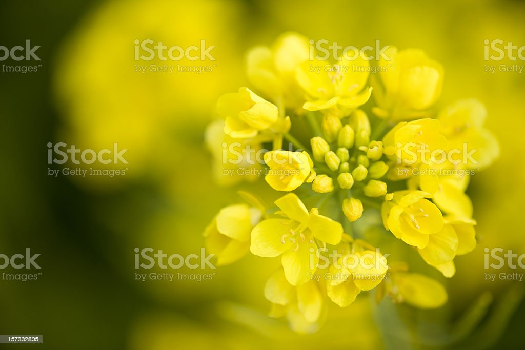 Canola Flower stock photo