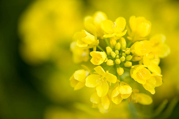 Canola Flower  oilseed rape stock pictures, royalty-free photos & images