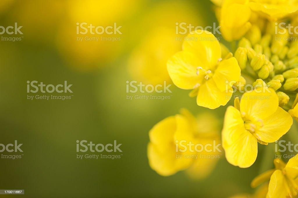 Canola Flower stock photo