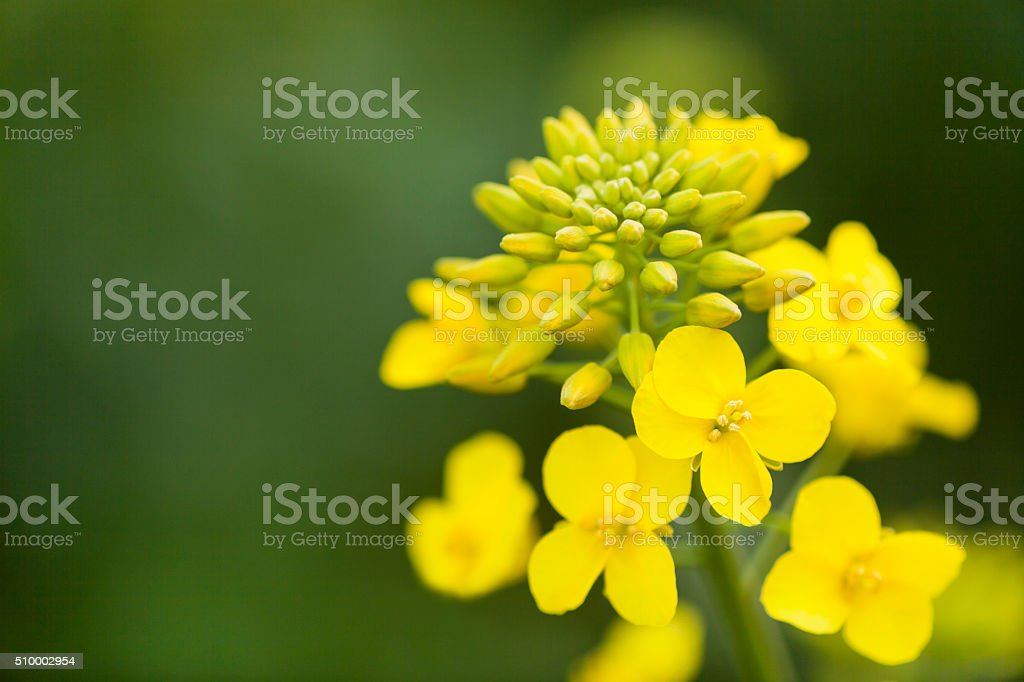 Canola Flower with Buds close up stock photo
