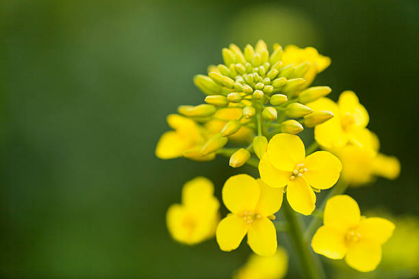 Canola Flower with Buds close up fresh canola flower close up canola stock pictures, royalty-free photos & images