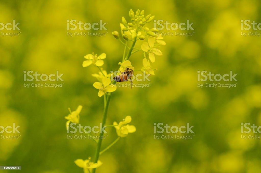canola flower,Honey bee stock photo