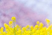 春に桜並木と菜種の花