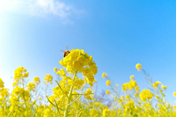 Canola flowers and honey bee Image of spring visit, Canola flowers , Rape flowers oilseed rape stock pictures, royalty-free photos & images