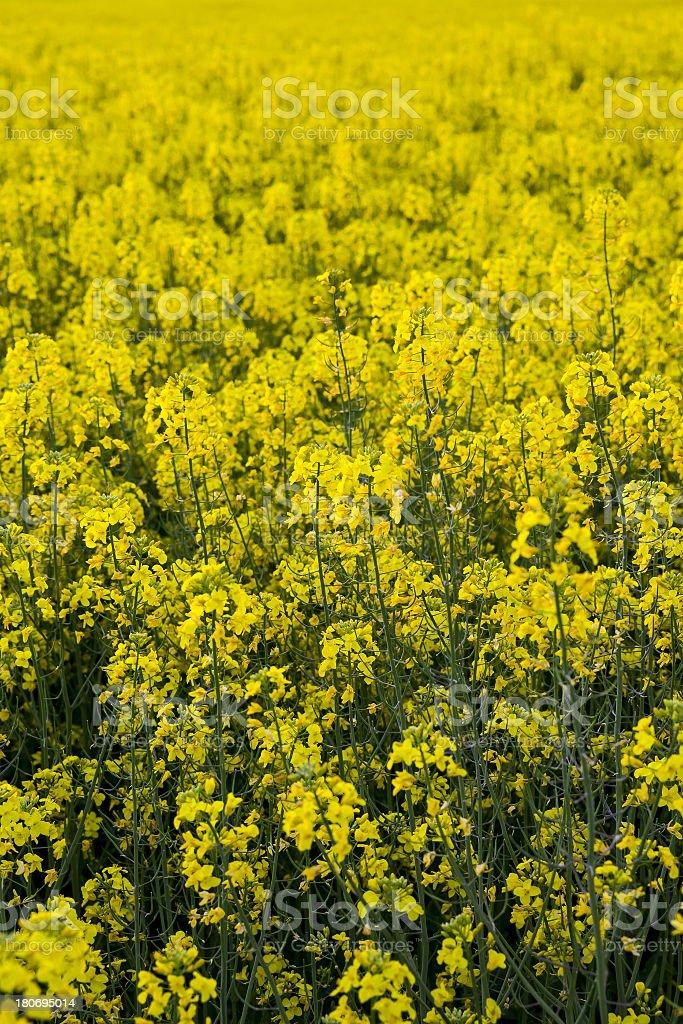 Canola Flowers Field royalty-free stock photo