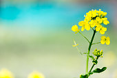 canola flowers against emerald green background
