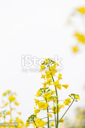 Canola Flowers On White