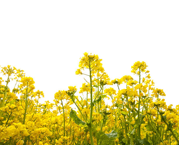 Canola Flowers canola Flowers on white canola stock pictures, royalty-free photos & images