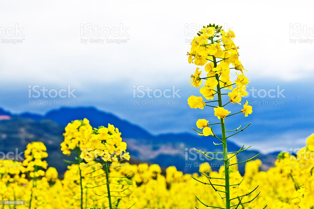 canola flowers stock photo more pictures of 2015 istock