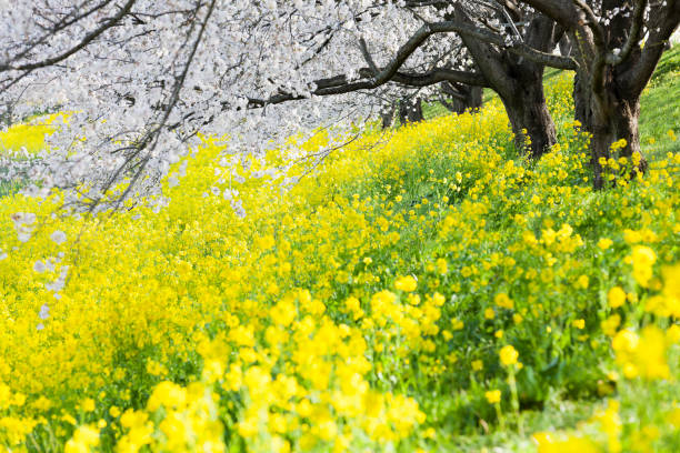 Canola Flowers Under Cherry Blossom Trees in the Morning stock photo